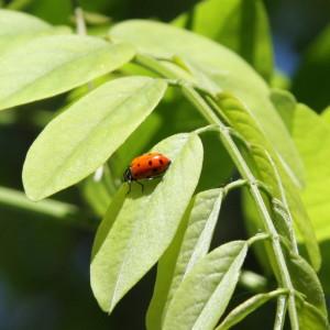 ladybug on black locust