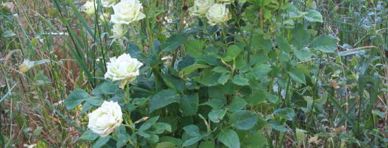 Miniature Yellow Rose Bush